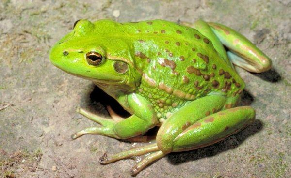 Nằm mơ thấy ếch là điềm báo tốt hay xấu?