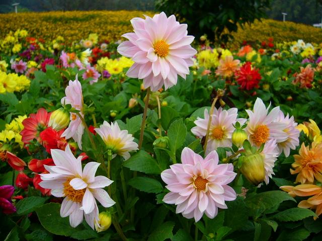 Nằm mơ thấy hoa