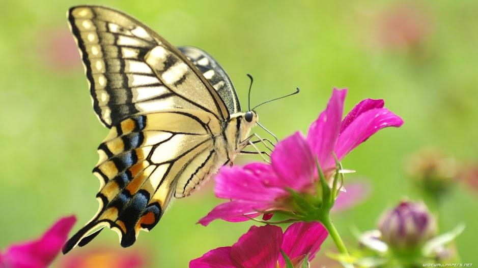 bướm bay vào nhà