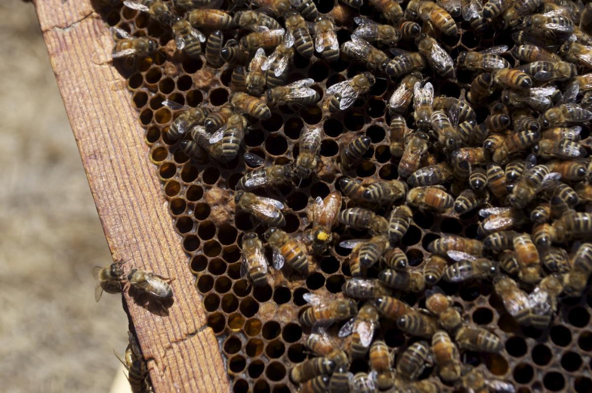 Ong làm tổ trong nhà tốt hay xấu? Giải mã điềm báo tương lai